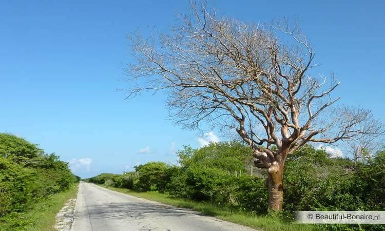 Door De Wind Gemoduleerde Waaibomen Op Bonaire Beautiful Bonaire
